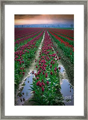 Skagit Valley Tulips Framed Print by Inge Johnsson