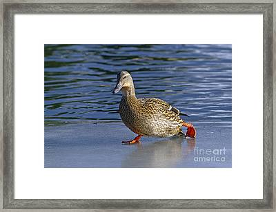 Skating On Thin Ice Framed Print by Sharon Talson