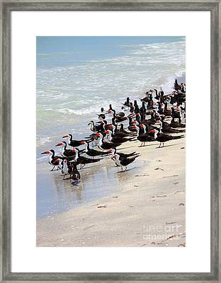Skimmers On The Beach Framed Print by Carol Groenen
