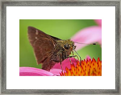 Skipper Moth Framed Print by Juergen Roth