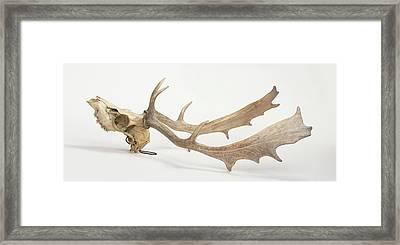 Skull And Antlers Of Fallow Deer Framed Print by Dorling Kindersley/uig