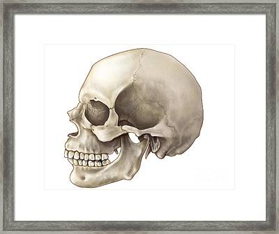 Skull Lateral View Framed Print by Evan Oto