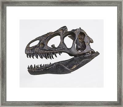 Skull Of Allosaurus Framed Print by Dorling Kindersley/uig