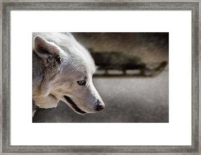 Sled Dog Framed Print by Bob Orsillo