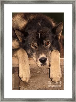 Sled Dog Framed Print by Ron Sanford