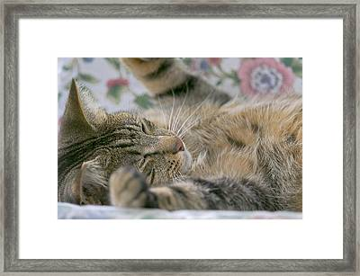 Sleeping Kitty Framed Print by Sharon Talson