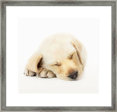Sleeping Labrador Puppy Framed Print by Johan Swanepoel