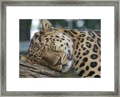 Sleeping Leopard Framed Print by Chris Boulton