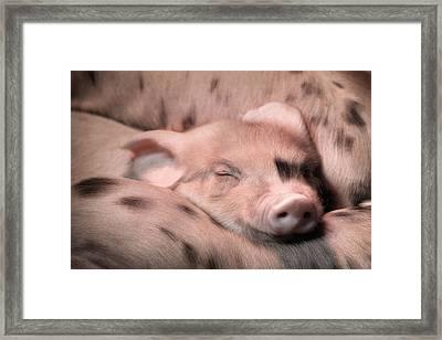 Sleepy Baby Pig Framed Print by Lori Deiter