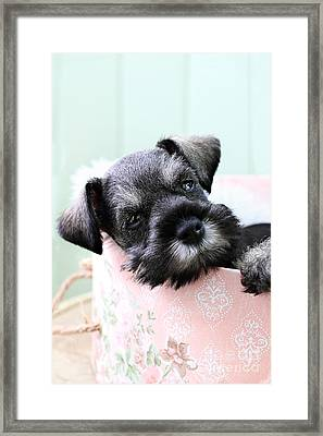 Sleepy Mini Schnauzer Framed Print by Stephanie Frey
