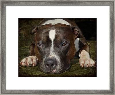 Sleepy Pit Bull Framed Print by Larry Marshall