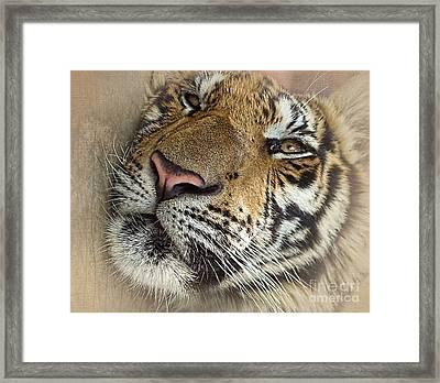 Sleepy Tiger Portrait Framed Print by Kaye Menner