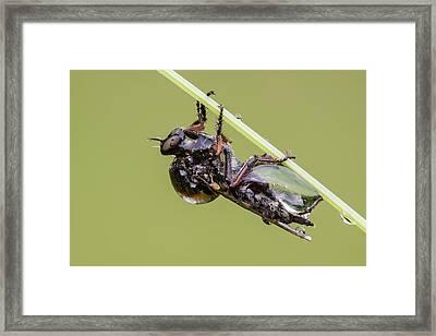 Slender Footed Robber Fly Framed Print by Heath Mcdonald
