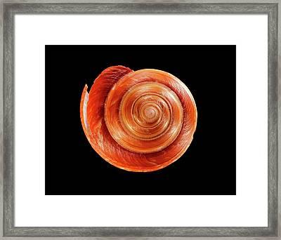 Slit Snail Shell Framed Print by Gilles Mermet