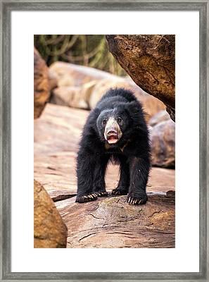 Sloth Bear Framed Print by Paul Williams