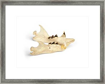 Sloth Mandible Framed Print by Ucl, Grant Museum Of Zoology