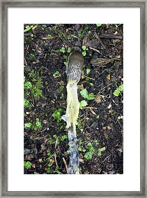 Slug Poisoned By Metaldehyde Framed Print by Dr Jeremy Burgess