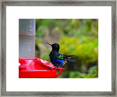 Slurping The Nectar Framed Print by Al Bourassa