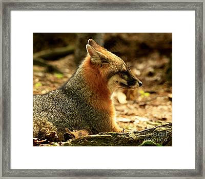 Sly Rare Grey Fox  Framed Print by Inspired Nature Photography Fine Art Photography