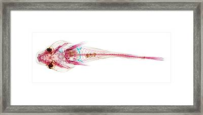 Small-headed Clingfish Framed Print by Natural History Museum, London