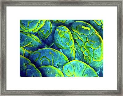Small Intestine Lining Framed Print by Prof Cinti & V. Gremet/spl