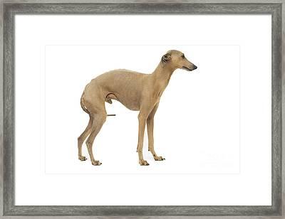 Small Italian Greyhound Framed Print by Jean-Michel Labat