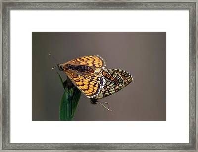 Small Pearl-bordered Fritillary Mating Framed Print by Heiti Paves