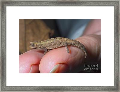 Smallest Chameleon, Brookesia Minima Framed Print by Greg Dimijian