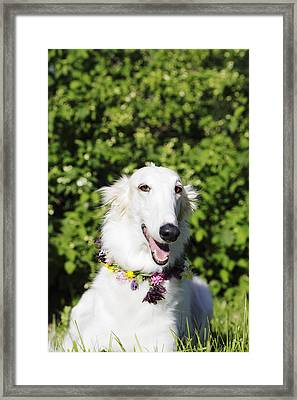 Smiling Borzoi Dog Framed Print by Christian Lagereek