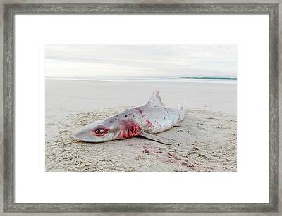 Smooth Hound Shark Caught By Line Fisher Framed Print by Peter Chadwick