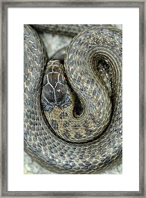 Smooth Snake Framed Print by Colin Varndell