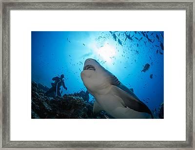 Snacking Bull Shark Framed Print by Dave Fleetham