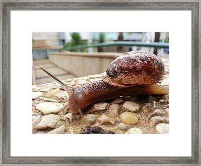 Snail Crawls On A Rock Framed Print by Photostock-israel