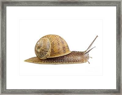 Snail Framed Print by Elena Elisseeva
