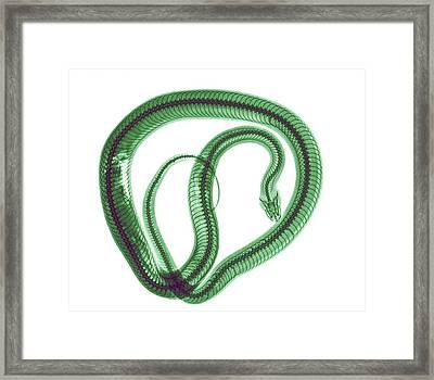 Snake Under X-ray Framed Print by Photostock-israel