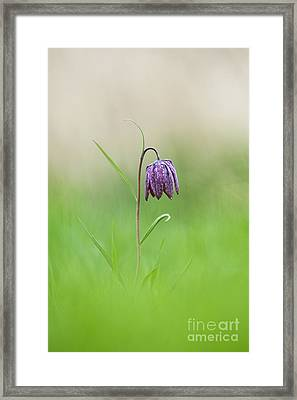 Snakes Head Fritillary Shallow Dof Framed Print by Tim Gainey