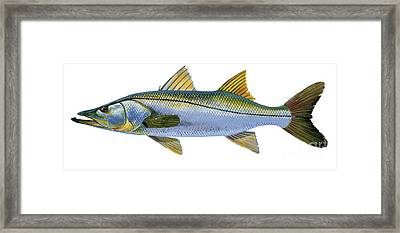 Snook Framed Print by Carey Chen