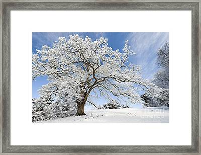 Snow Covered Winter Oak Tree Framed Print by Tim Gainey
