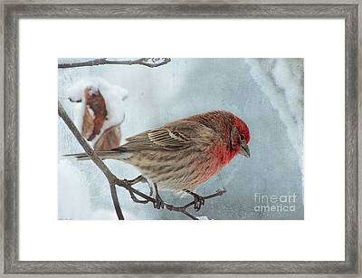 Snow Day Housefinch With Texture Framed Print by Debbie Portwood