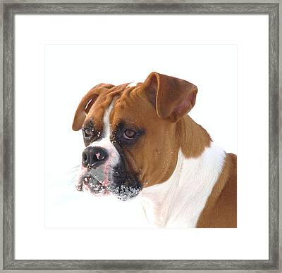 Snow Faced Boxer Framed Print by Lisa  DiFruscio