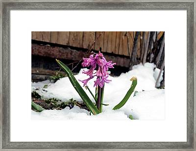 Snow Flower Framed Print by Fiona Kennard