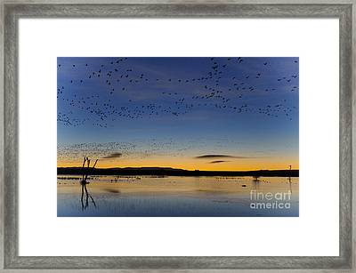 Snow Geese And Marsh Pond At Sunrise Framed Print by John Shaw