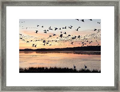 Snow Geese At Chincoteague Last Flight Of The Day Framed Print by Bill Swindaman