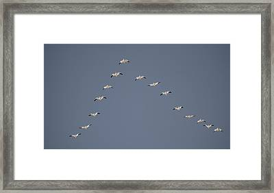 Snow Geese Flying In V Formation Framed Print by Jaynes Gallery