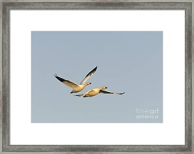Snow Geese Framed Print by John Shaw