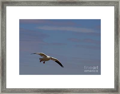 Snow Goose Approach Framed Print by Mike Dawson