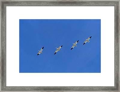 Snow Goose Flock In Formation Framed Print by Konrad Wothe