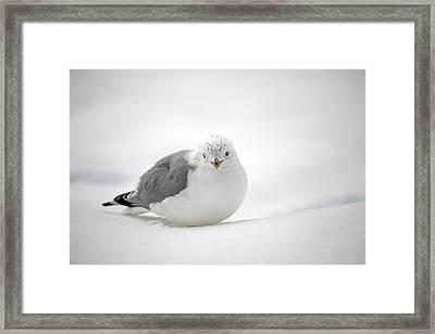 Snow Gull Framed Print by Karol Livote