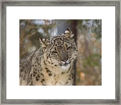Snow Leopard Framed Print by Ernie Echols