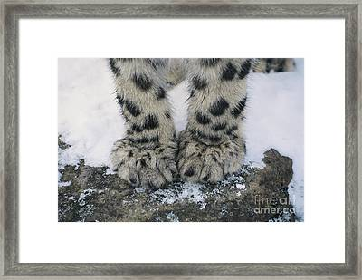 Snow Leopard Feet Framed Print by Thomas and Pat Leeson